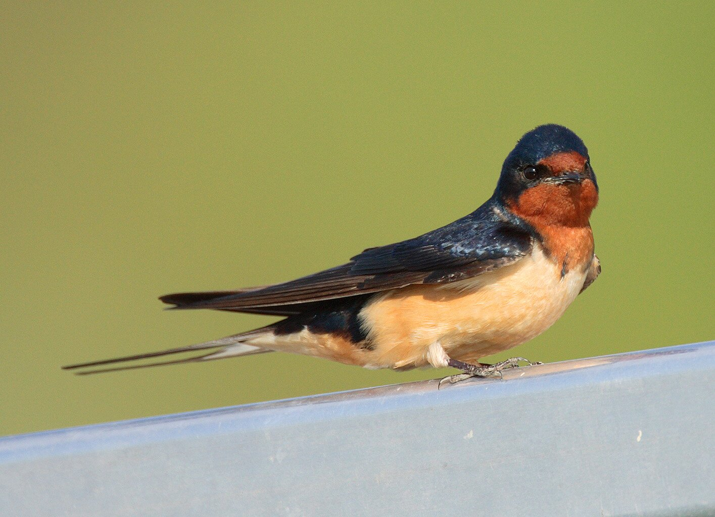 Pictures Of Swallows 5