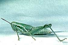 Cudweed Grasshopper female
