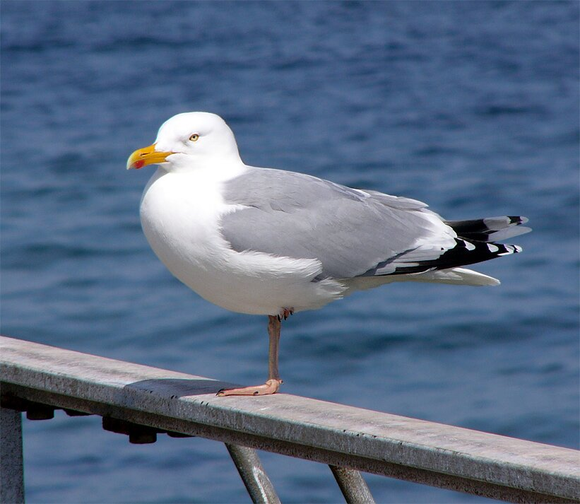 http://www.pestproducts.com/images/Herring-Gull.jpg