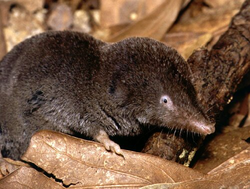 Shrews: Southern Short-Tailed Shrew Information