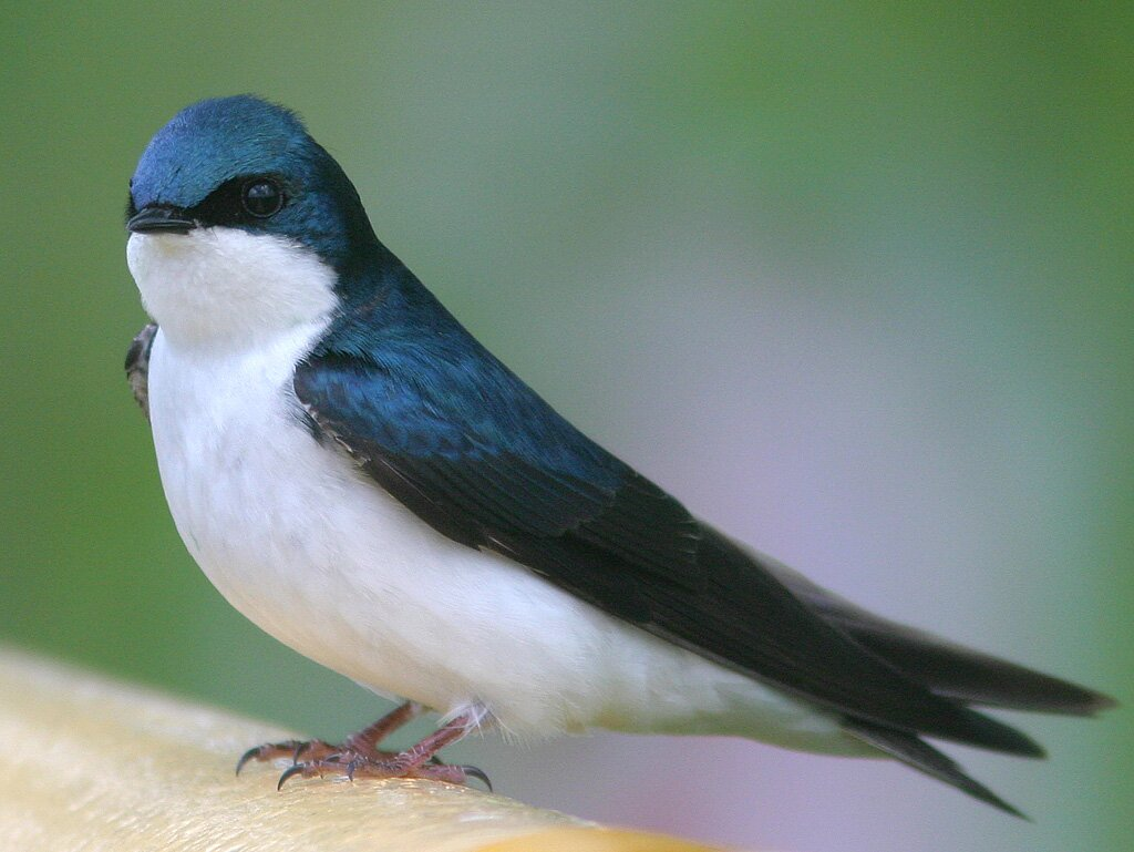 Pictures Of Swallow Birds 7