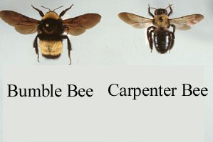 Bumble Bee Carpenter Picture