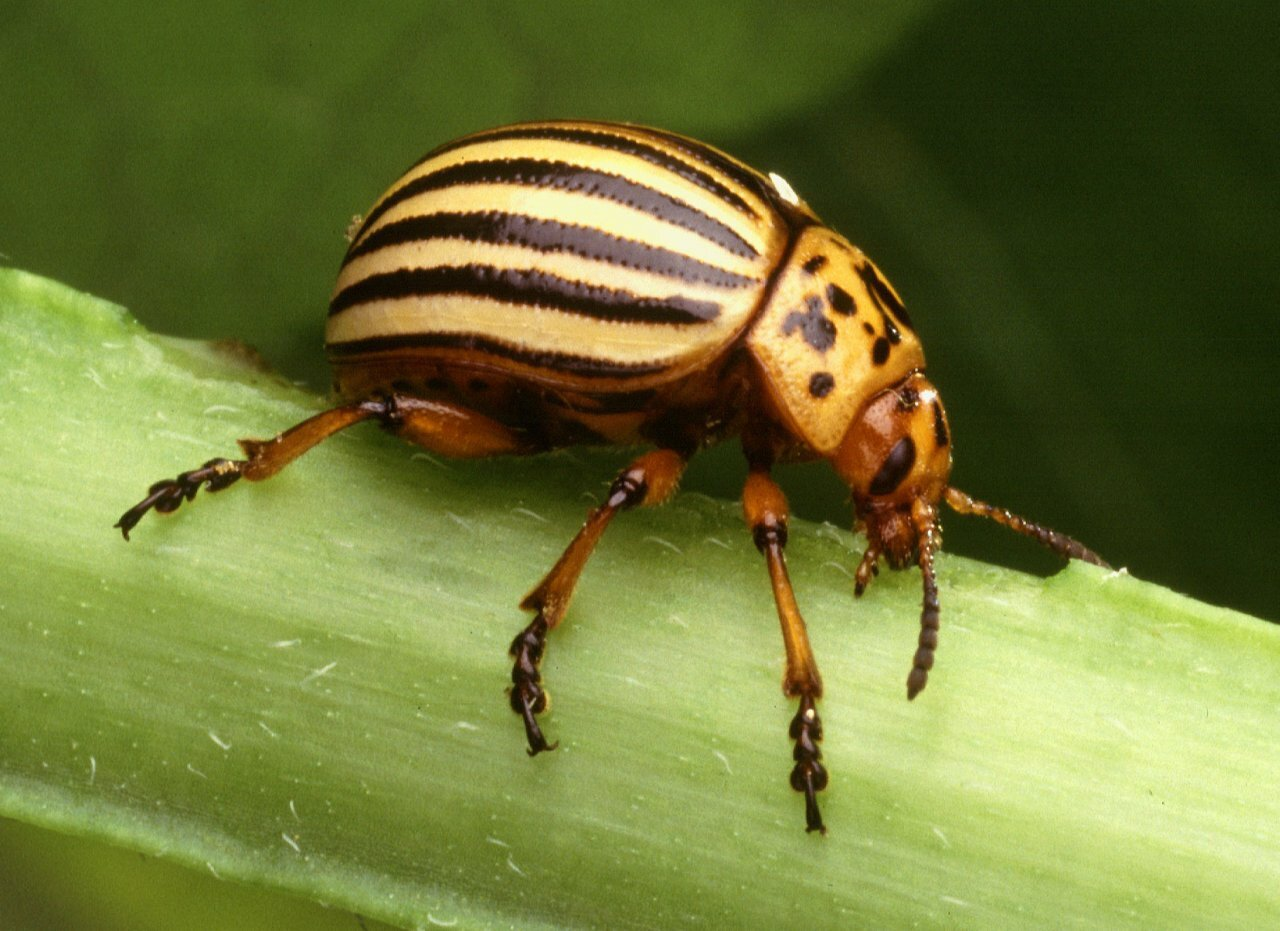 Crop Beetles: Cucumber Beetle, Flea Beetles and Other Pests of Crops
