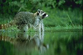 Common Raccoon picture