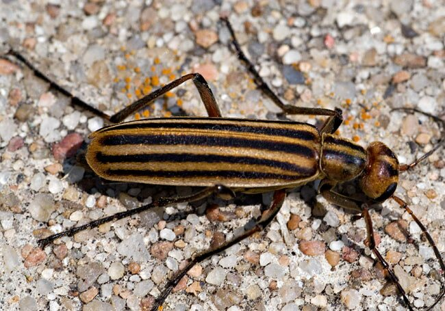 Eventually they turn a reddish Striped Blister Beetle brown. Crop Beetles  Cucumber Beetle  Flea Beetles and Other Pests of Crops